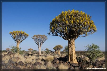 Kalahari Anib – Quivertree Forest
