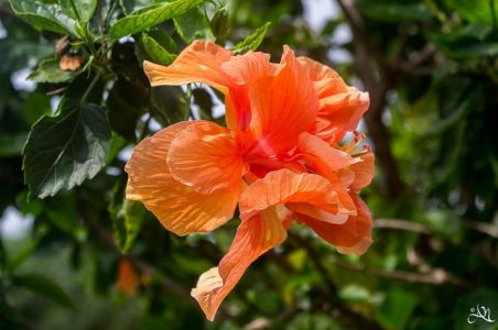 20150105-111845-hibiscus 16312372534 O