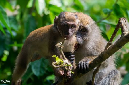 20150106-113323-crab-eating-macaque 16406314299 O