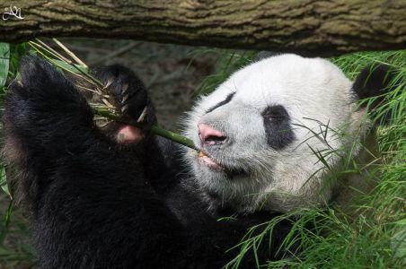 20150106-120418-giant-panda---kai-kai 16727431007 O