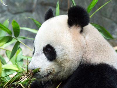 20150106-121714-giant-panda---tia-tia 16933783831 O