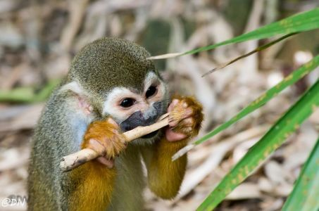 20150106-140902-squirrel-monkey 16591516962 O